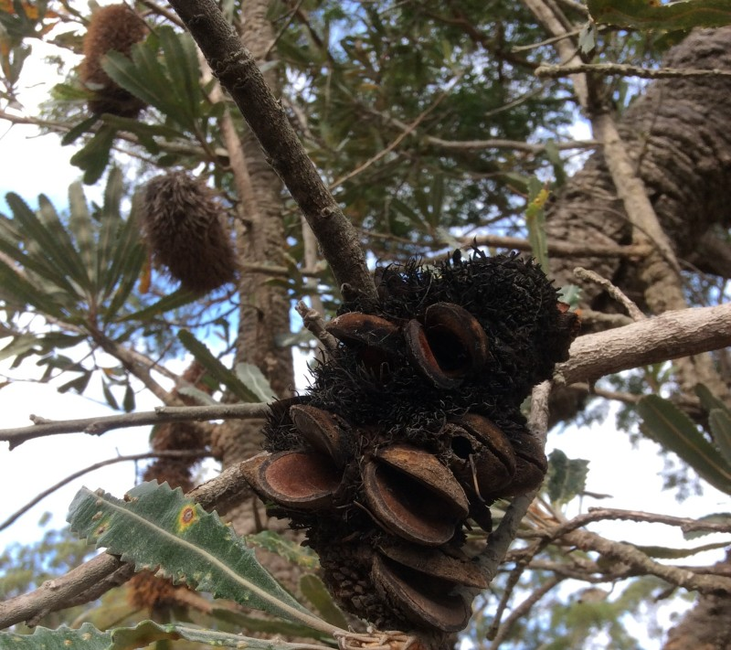 Banksia mouths (2)