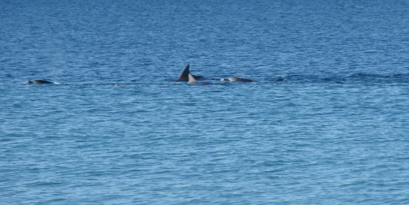 Resident Pod of Dolphins at Callala Beach